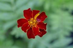 Rote Blume auf unscharfem Hintergrund stockfotos