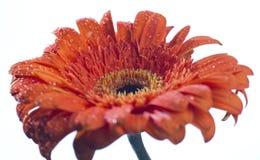 Rote Blume auf Weiß Stockfoto