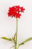 Rote Blume auf weißer Wand Stockbild