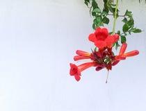Rote Blume auf weißer Wand Stockfoto
