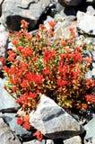 Rote Blume in den Felsen Stockfotografie