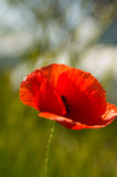 Rote Blume in der Blüte Stockfoto