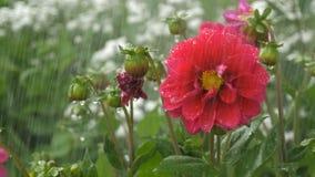 Rote Blume der Blüte unter Regentropfen auf grünem Hintergrund stock video