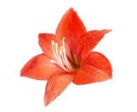 Rote Blume der Lilie Stockfotografie
