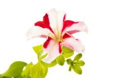 Rote Blume der Petunie Stockfotografie