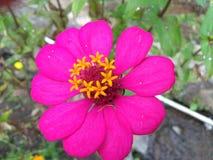 Rote Blume der Schönheit mit achter sternförmiger Krone Lizenzfreie Stockfotografie