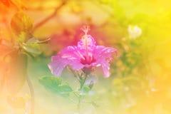 Rote Blume des Chinesen Rose, des Schuhes oder eine Blume des roten Hibiscus mit grünen Blättern, wissenschaftlicher Name als Hib Stockbild