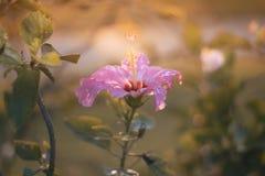 Rote Blume des Chinesen Rose, des Schuhes oder eine Blume des roten Hibiscus mit grünen Blättern, wissenschaftlicher Name als Hib Lizenzfreies Stockfoto
