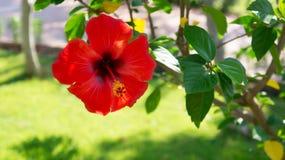 Rote Blume des Hibiscus im Garten auf grünem Hintergrund Lizenzfreies Stockbild