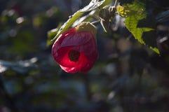 Rote Blume des Raumahorns Indische Malve, Abutilon im Garten Lizenzfreies Stockbild