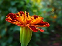 Rote Blume im Garten Stockbild
