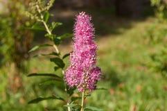 Rote Blume im Garten Lizenzfreie Stockfotografie