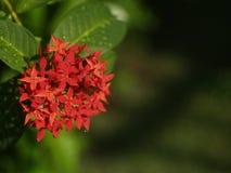 Rote Blume im Garten Lizenzfreies Stockfoto