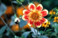 Rote Blume im Garten Stockfotografie