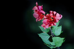 Rote Blume im Garten auf dem schwarzen Hintergrund Stockfoto