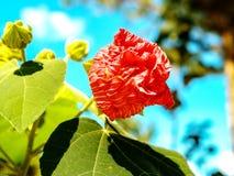 Rote Blume im Park und im Freien oder botanisch in Dalat lizenzfreie stockfotografie