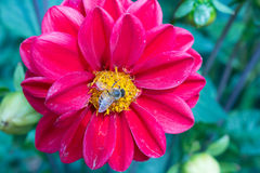 Rote Blume mit Biene Stockfotografie