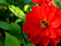 Rote Blume mit Biene auf ihr Stockfoto