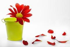 Rote Blume mit den gefallenen Blumenblättern auf einem weißen Hintergrund Lizenzfreie Stockbilder