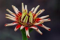 Rote Blume mit den gekräuselten Blumenblättern Stockfoto