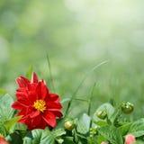 Rote Blume mit den grünen Knospen Stockbild