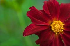 Rote Blume mit gelber Mitte Stockfotos