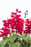 Rote Blume mit grünem Blatt Lizenzfreie Stockbilder
