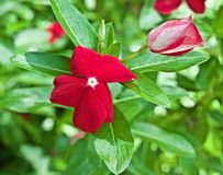 Rote Blume mit grünen Blättern lizenzfreie stockbilder