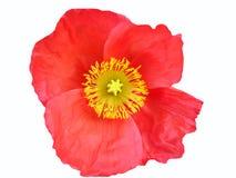 Rote Blume mit Pistil Lizenzfreie Stockbilder