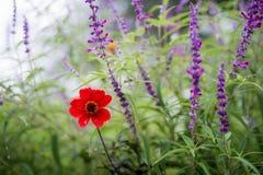 Rote Blume mit purpurroten Blumen und Anlagen in der grünen Wiese auf Misty Spring Day Lizenzfreie Stockfotografie