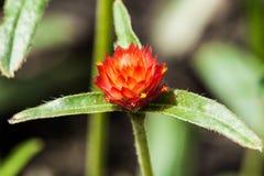 Rote Blume mit Sonnenlicht Stockfoto