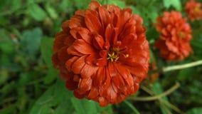 Rote Blume nach Regennahaufnahme Lizenzfreies Stockfoto