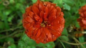 Rote Blume nach Regennahaufnahme Stockfoto
