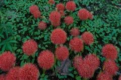 Rote Blume Netchure-Feuerkugel im belgaum bei Karnataka Indien Asien stockfoto