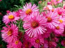 Rote Blume, rosa Blumen Lizenzfreie Stockfotografie