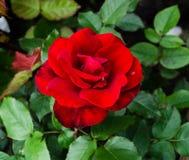 Rote Blume stieg stockfotos