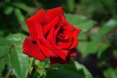 Rote Blume stieg lizenzfreie stockbilder