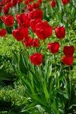 Rote Blume, Tulpe, Liliaceae lizenzfreie stockbilder