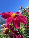 Rote Blume und Biene Stockbilder