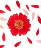 Rote Blume und Blumenblätter auf einem weißen Hintergrund lizenzfreies stockfoto