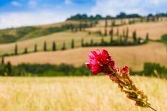 Rote Blume und kurvenreiche Straße in Kreta-senesi Toskana, Italien Lizenzfreie Stockfotografie