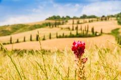 Rote Blume und kurvenreiche Straße in Kreta-senesi Toskana, Italien Lizenzfreies Stockfoto