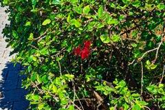 Rote Blume versteckt durch einen grünen Busch Stockfoto