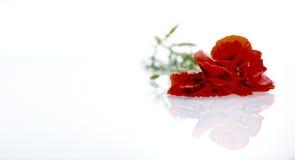 Rote Blume vor weißem Hintergrund Stockfotografie