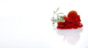 Rote Blume vor weißem Hintergrund Lizenzfreie Stockfotografie