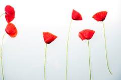 Rote Blume vor weißem Hintergrund Stockfoto