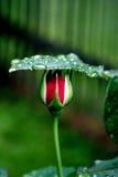 Rote Blumeknospe im Garten Lizenzfreies Stockfoto