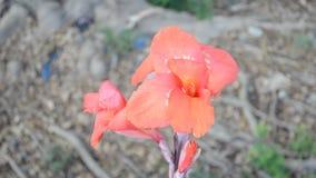 Rote Blumen stock video