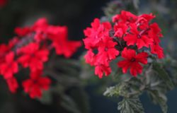 Rote Blumen lizenzfreie stockfotos
