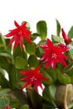 Rote Blumen. Lizenzfreie Stockfotos